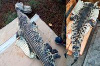 Пойманный крокодил.