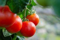 Тюменцам рассказали, как дозревать помидоры