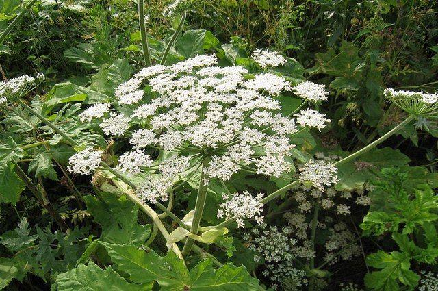 Ядовитое растение обнаружили в Краснокамском районе Башкирии