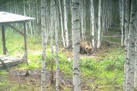 Дикий медведь в окрестностях Берёзовского