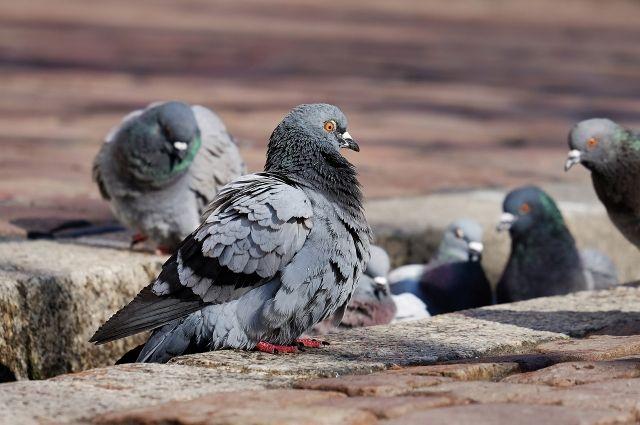 В Благодарном «управляйка» воюет с голубями, пачкающими двор и фасад дома