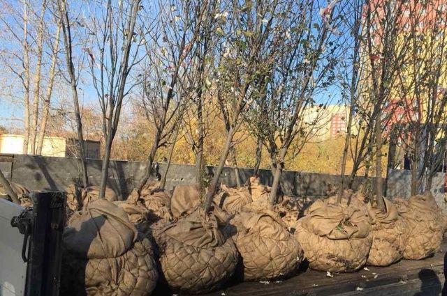 На Солнечном проезде в Тюмени приступили к замене погибших тополей