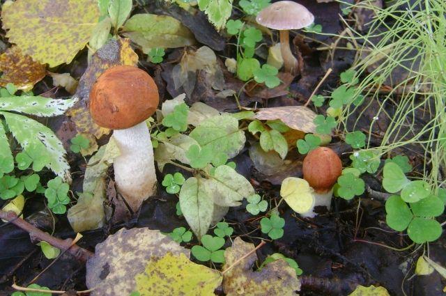 С наступлением морозов новосибирские леса опустели, и редко кому удается найти несколько подмерзших экземпляров в чаще.