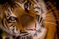 Покалеченному при краже бузулукскому тигренку Гектору и другим подопечным приюта для диких животных построят клетку за 1 млн рублей.