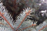 Возле администрации Тюмени высадили новые голубые ели
