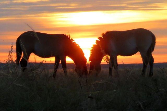 Наблюдение за лошадьми Пржевальского - одна из главных задач инспектора заповедника.