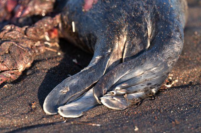 Погибшая ларга, выброшенная на берег Халактырского пляжа на полуострове Камчатка.