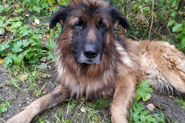 Пожилой пёс Кирюша из Коми, который стал обузой для людей, сначала был усыплён. Но проспав несколько часов, очнулся в лесу...