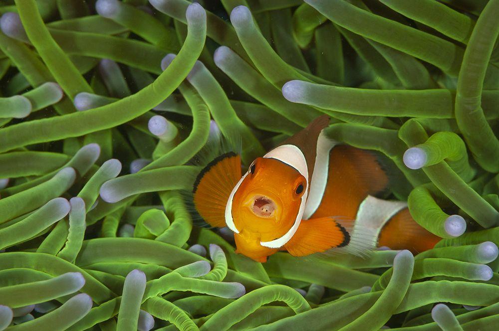 Рыба-клоун около анемонов.