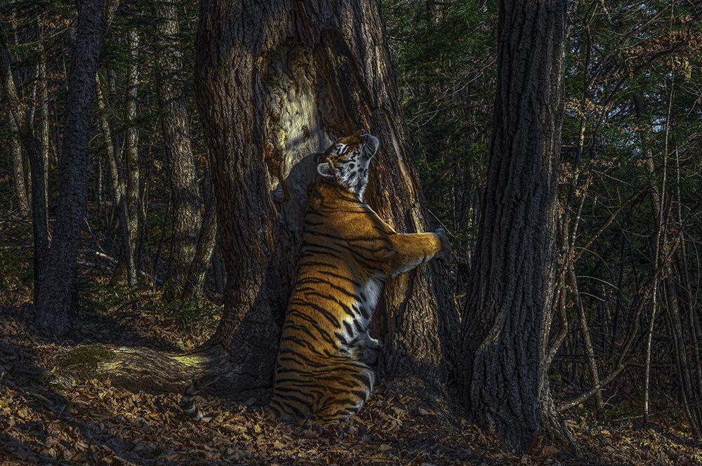Амурский тигр, обнимающий пихту.