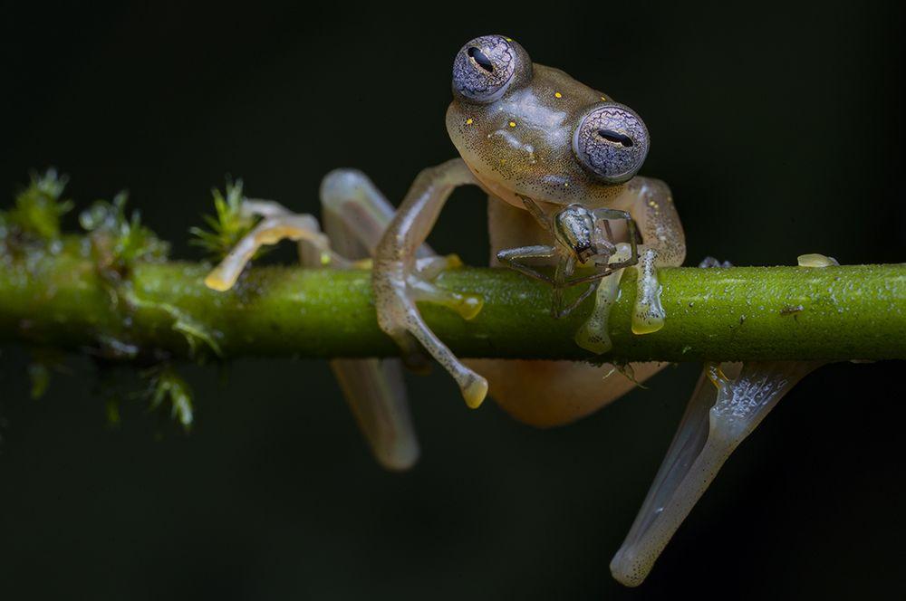 Стеклянная лягушка перекусывает пауком.
