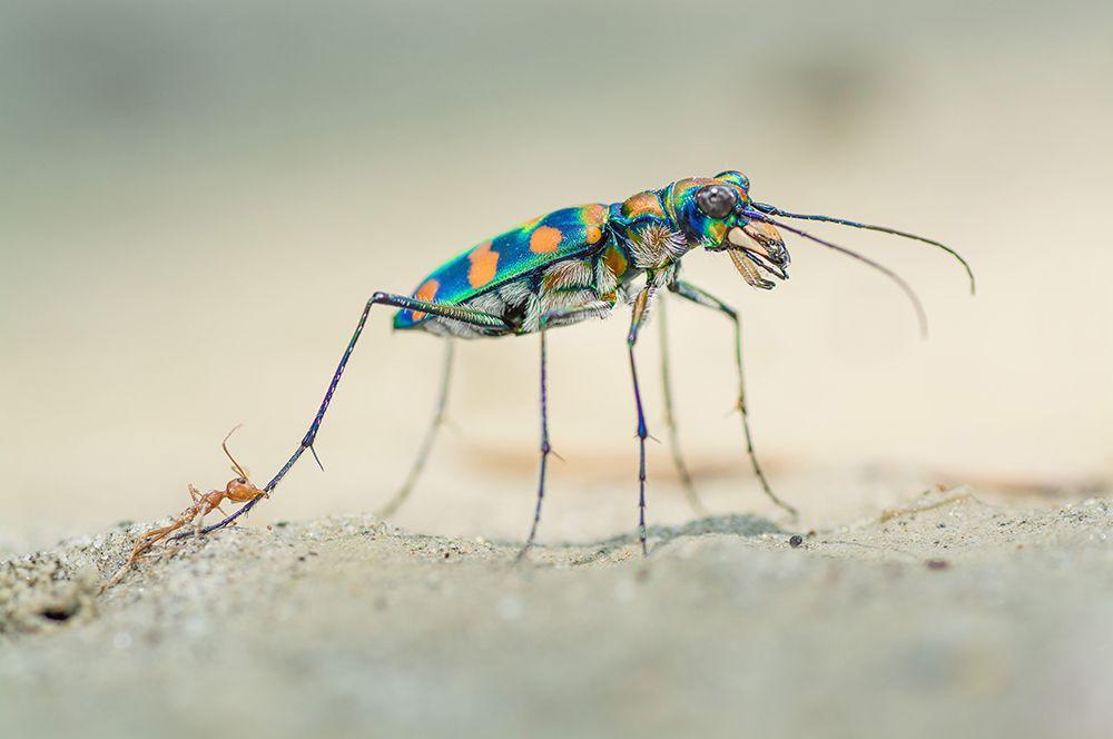 Гигантский речной тигровый жук и кусающий его муравей-ткач.
