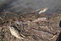 Жители Новотроицка опубликовали видео массовой гибели рыбы на озере Сазанье.