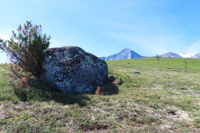 В горах Приполярного Урала можно встретить уникальные растения из Красной книги