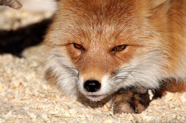 Животное, которое походит к человеку, с большой вероятностью заражено бешенством, так как здоровые лисы (как и другие дикие звери) стараются держаться от людей подальше.