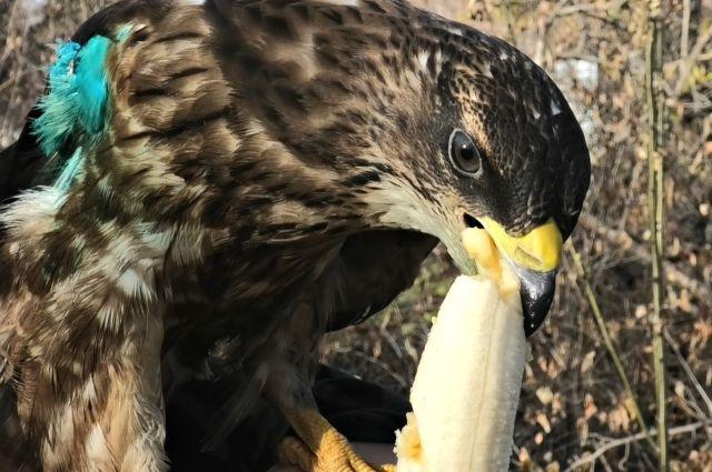 Ястреб очень любит бананы.