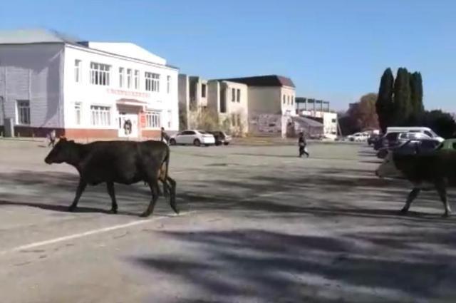 В КЧР полицейские обнаружили у дорог более 900 парнокопытных «нарушителей»