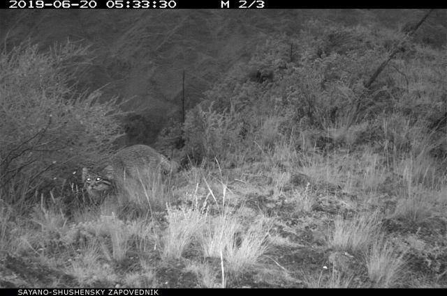 Снимок подтверждает обитание вида на территории Хакасии.