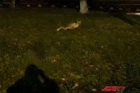 Очевидцы сообщают, что животное регулярно появляется там.
