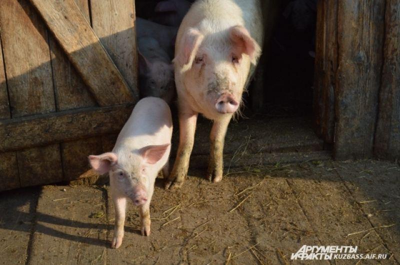 Помимо комбикорма свиньи едят много корнеплодов, и хорошо, если у хозяев есть лишняя картошка.