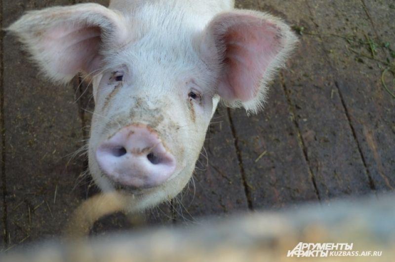 Чтобы вырастить взрослую свинью до момента сдачи на мясо, нужно полтонны комбикорма или пять тысяч рублей.