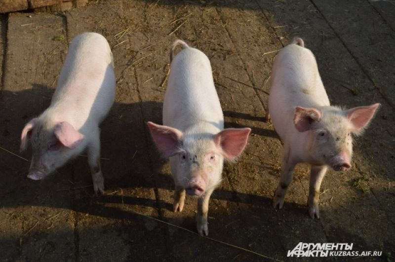 Можно продавать поросят, но свиньи часто давят или сжирают часть приплода. Также маленькие поросята постоянно болеют и быстро сдыхают.