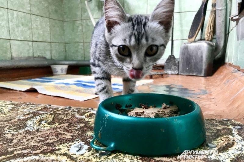 Кошки часто тоже кормятся с хозяйского стола, летом ловят мышей и птичек на улице.