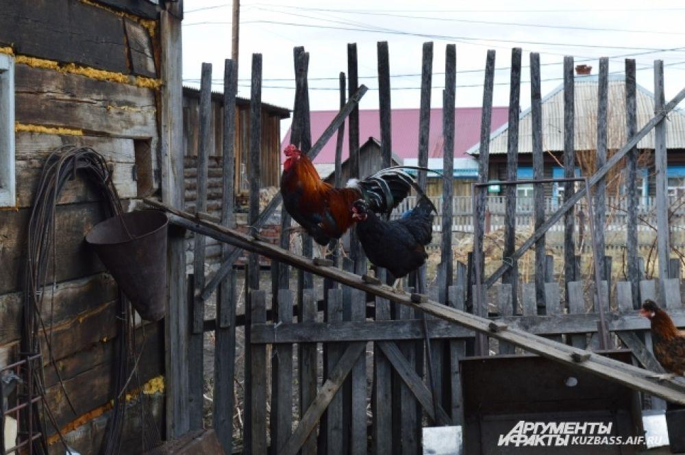 Килограмм мяса бройлера на рынке стоит 250 рублей, а вырастают за четыре месяца эти птицы до 3-4 кг.