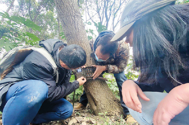 Ван Фан, биолог, г. Шанхай, проводит полевые исследования, в результате которых енотовидные собаки были обнаружены в 137 жилых кварталах города.