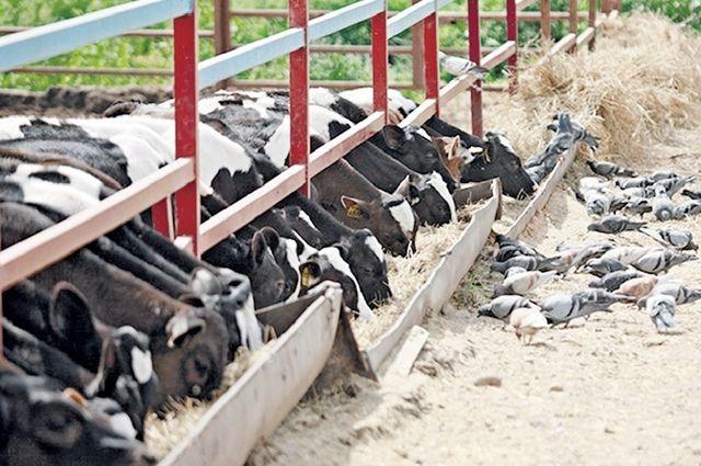 Поддержка на развитие животноводства в Брянской области предусмотрена как для начинающих фермеров, так и для семейных животноводческих ферм.