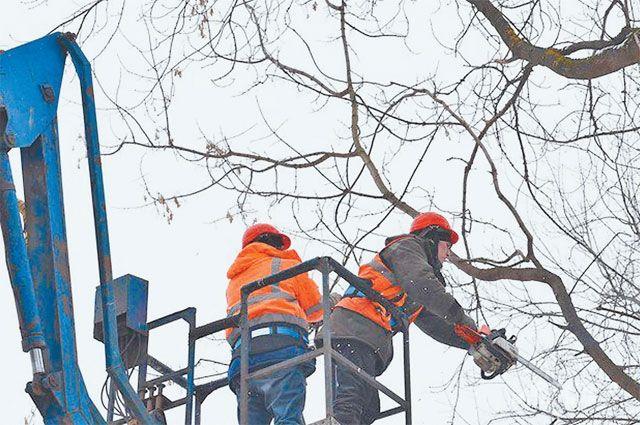 По правилам, при кронировании можно обрезать не более 30 % ветвей.