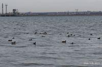 Стаю диких уток заметили около Новосибирской ГЭС.