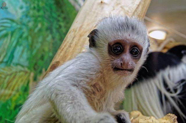 Белоснежный детеныш появился в семье дидиков в Новосибирском зоопарке.