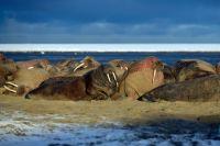 Тиутей-Сале второй год подряд стал облюбованным местом моржей