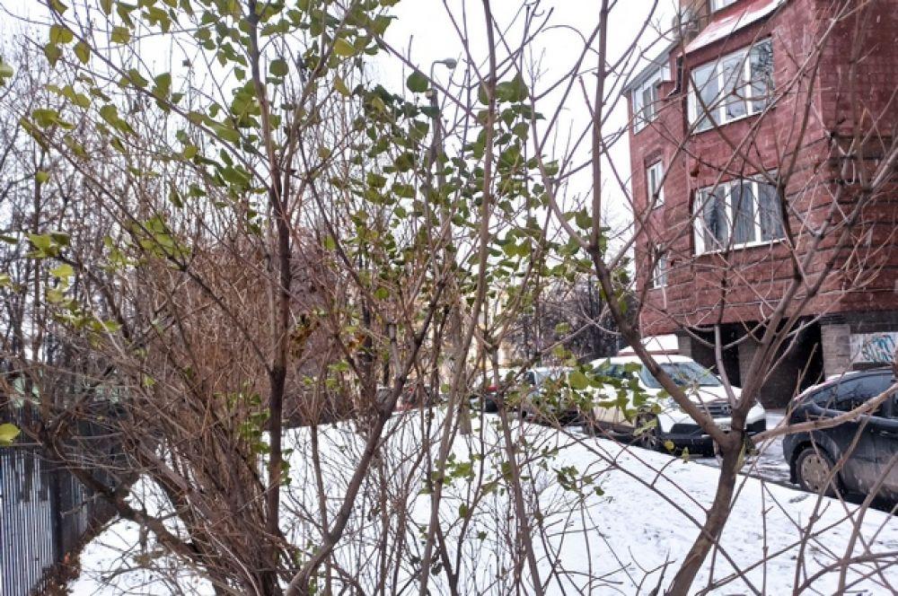 Кажется, это деревце слишком молодое, чтобы подготовиться к зиме - листья по-весеннему свежие.