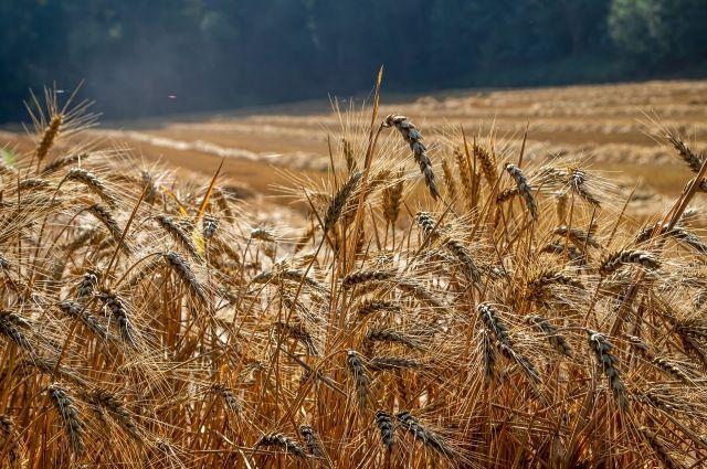 В Новосибирской области собрали хороший урожай зерновых.