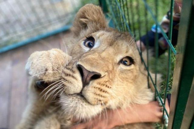 Новосибирск присоединился к поддержке львенка Симбы — первого дикого животного, которого россияне вернут в естественную среду обитания.
