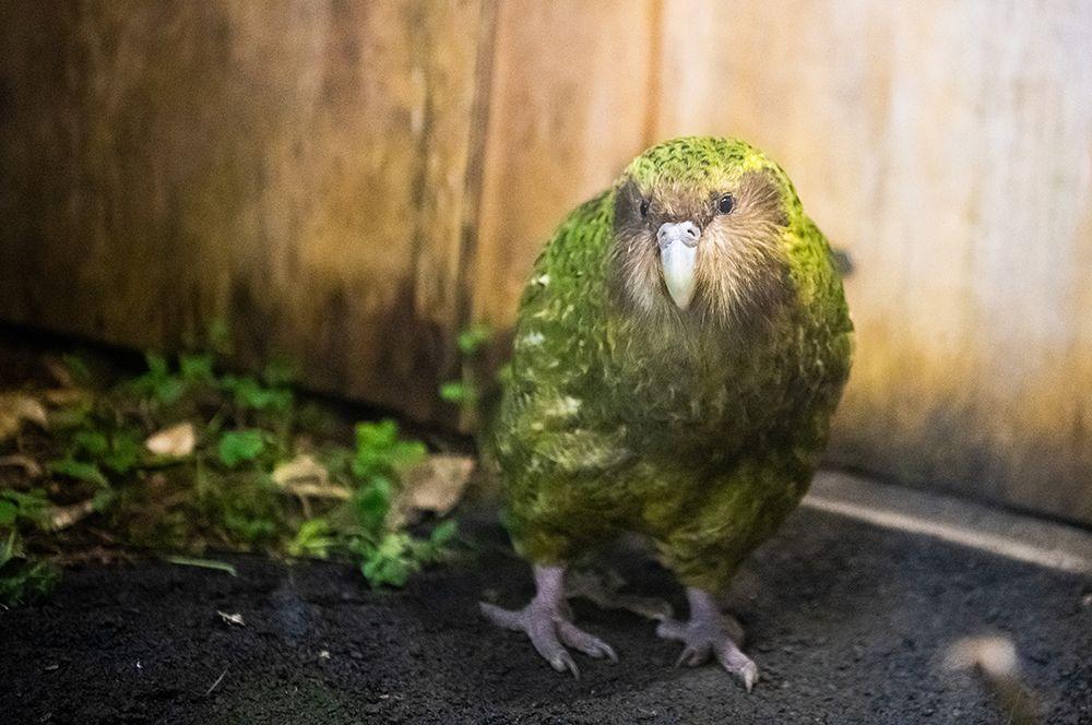 До открытия Южного острова европейцами у какапо не было никаких естественных врагов, из-за чего он утратил способность к полетам.