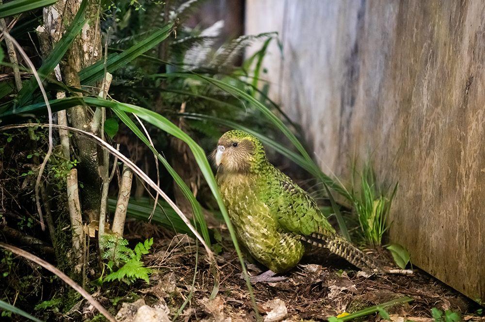 Был широко распространен в Новой Зеландии, в настоящее время сохранился лишь на юго-западе Южного острова.
