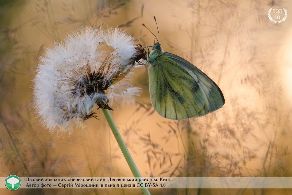 Еще одно макрофото из Киева. В объектив камеры попала бабочка в лесном заповедник «Березовый гай». Эту фотографию также сделал Сергей Мирошник.