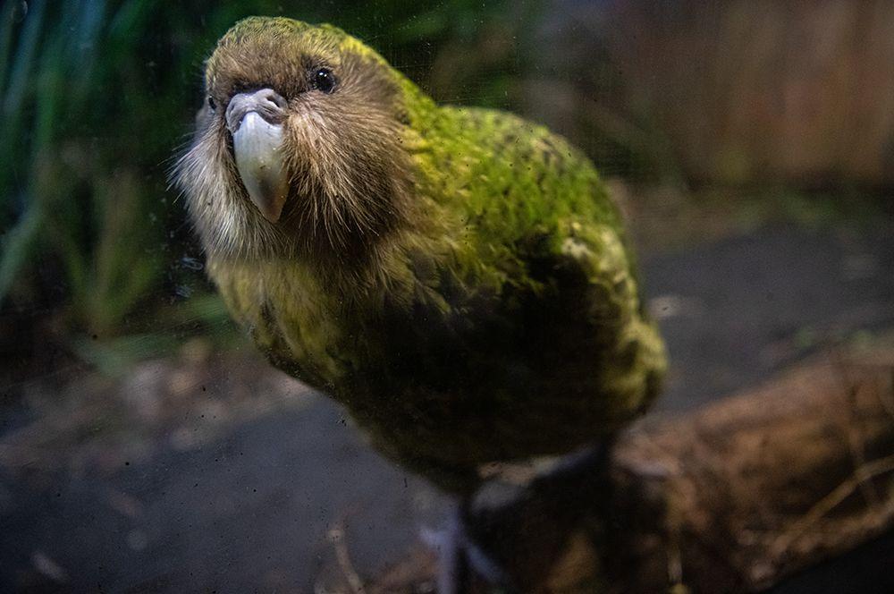 Какапо был открыт английским орнитологом Джорджем Робертом Греем в 1845 году.
