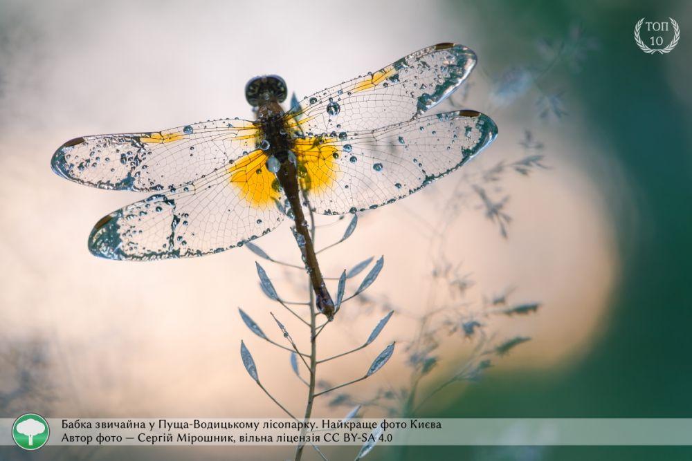 Макрофотография стрекозы обычной, которая была сделана в Пуще-Водицком лесопарке, стала лучшим фото Киева. Автор снимка - Сергей Мирошник.