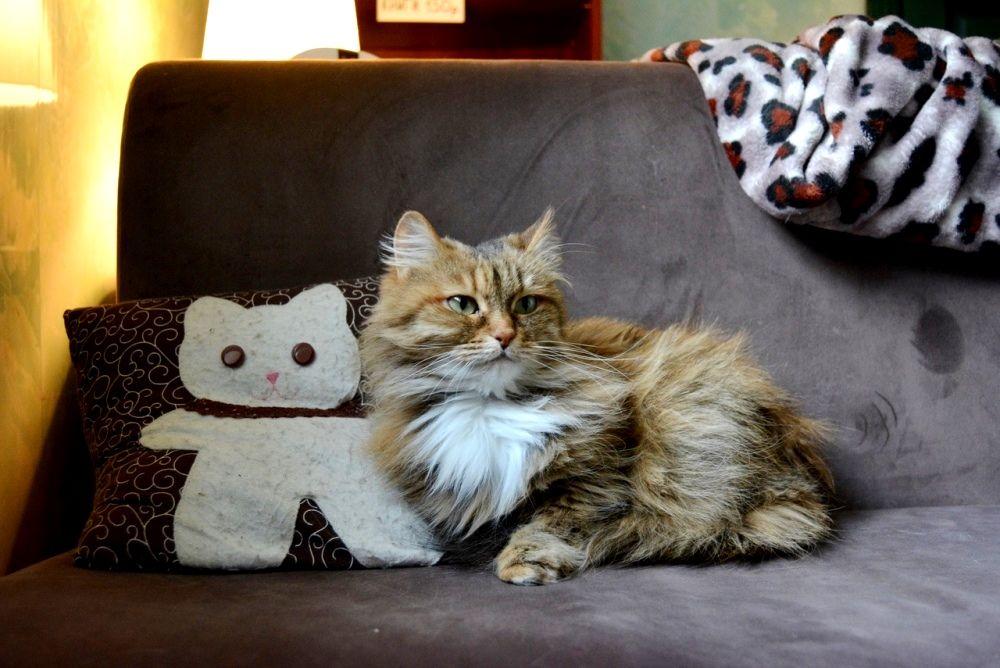 Капитолине уже 9 лет - взрослой кошке нужен дом, где её будут любить.