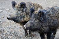 На территории охотничьего хозяйства в Грачевском районе введет карантин  по африканской чуме свиней.
