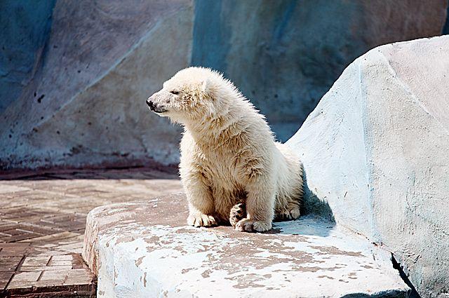 Белая медведица Шилка, появившаяся на свет в Новосибирском зоопарке имени Шило, родила двух медвежат в зоопарке Теннодзи в Японии. Медведица впервые стала мамой.