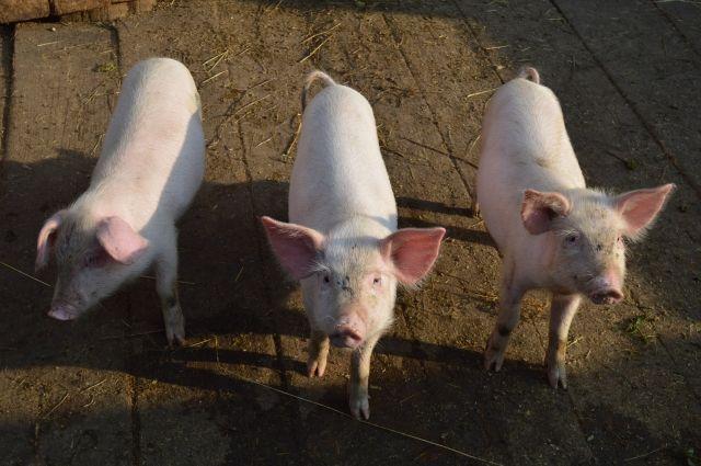 Ранее вспышка африканской чумы свиней произошла в регионе три года назад.
