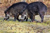 Оренбургскому браконьеру грозит до 5 лет тюрьмы за двух убитых самок кабана.