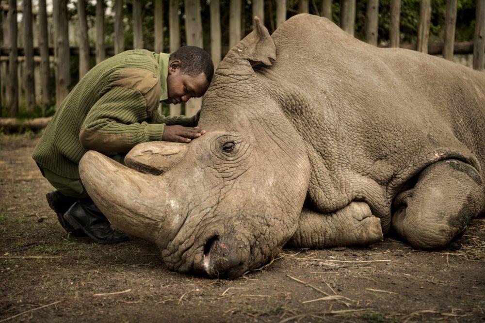 Последнее прощание. Работник заповедника Ол Педжета в Кении и последний самец северного белого носорога Судан перед смертью.
