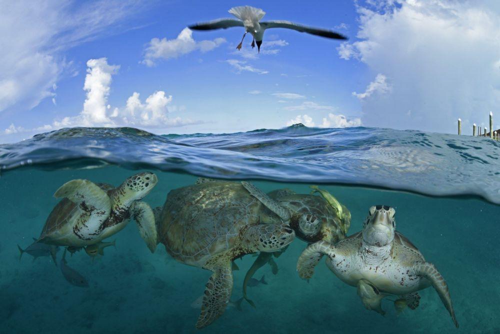 Зеленые морские черепахи на Багамских островах.