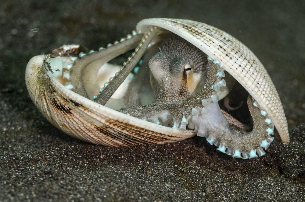 Кокосовый осьминог прячется в своем доме из ракушки.